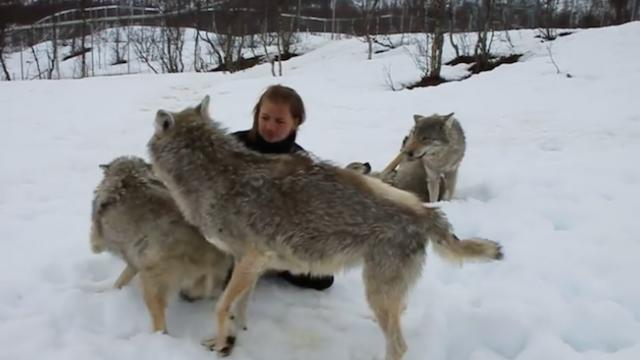 She reunites with wolves that she trained. But the welcome home surprises even her.