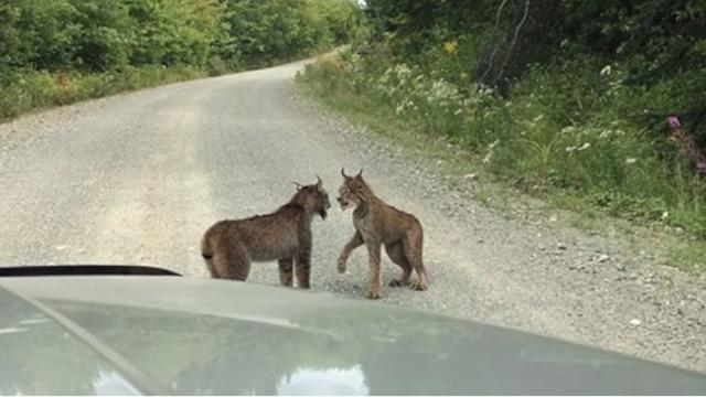Woman Sees 2 Lynxes In Rare Standoff But Cant Believe Her Ears When She Rolls Down Car Window