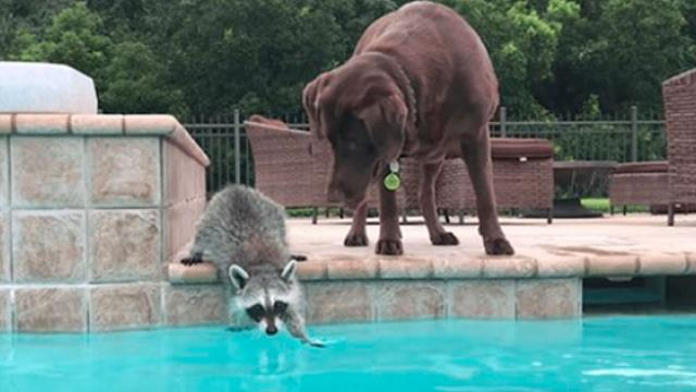 Raccoon Thinks About Getting In The Pool, And The Dog Shows Up And Convinces Him