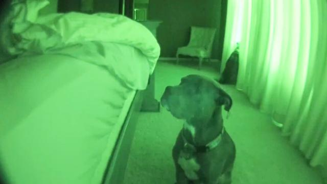 Pitbull Alarm Clock with Snooze Feature (cute dog)