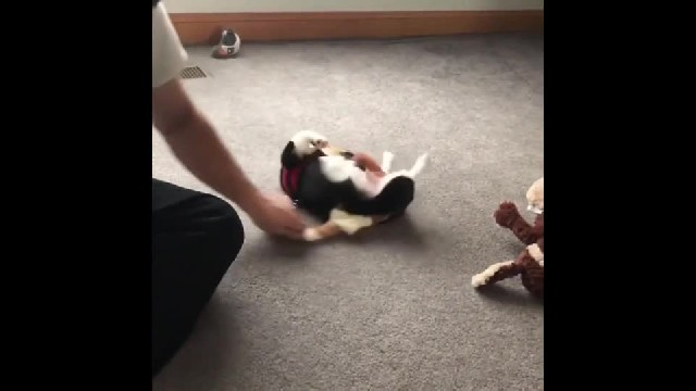 Dog loves being pulled around in circles
