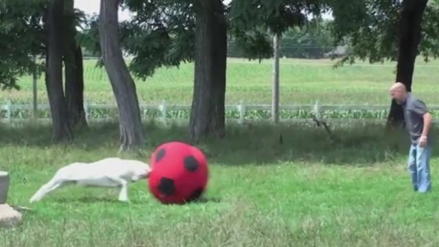 This goat has a head for soccer