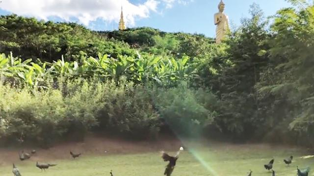 The birds! – Stunning video of hundreds of peacocks appearing from nowhere looks like real-life hitc