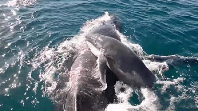 Whale Watch WA & Dolphins defend Humpback Mother &