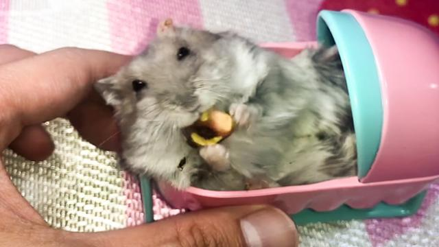 Can hamsters eat pistachios - Cute and funny hamster in a baby cot