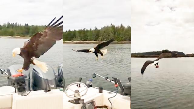 WATCH: Eagle swoops in and steals fish from a boat; video goes viral with 1 million-plus views
