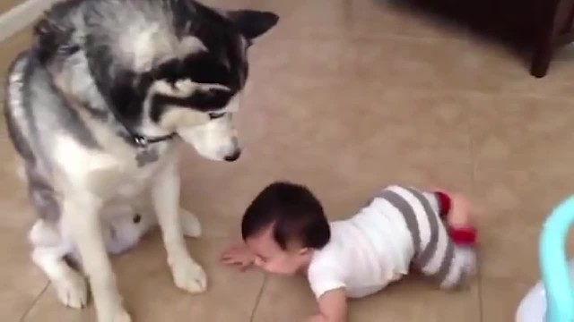 Husky Plays With Baby - Puppy Playtime