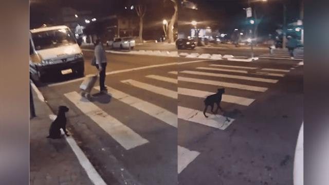 Smart Dog Waits For The Green Light Before Cro The Street