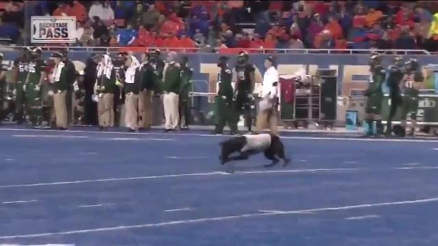 Here's a video of Boise State's dog