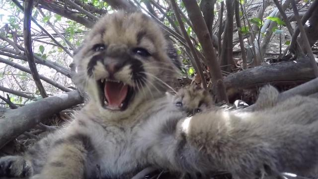 Mountain lion kittens make Santa Monica debut