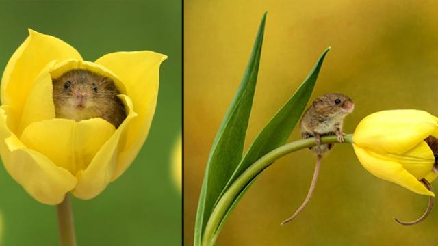 Photographer Tiptoes Through The Tulips To Shoot Harvest Mice, And The Result Will Make Your Day_Tri