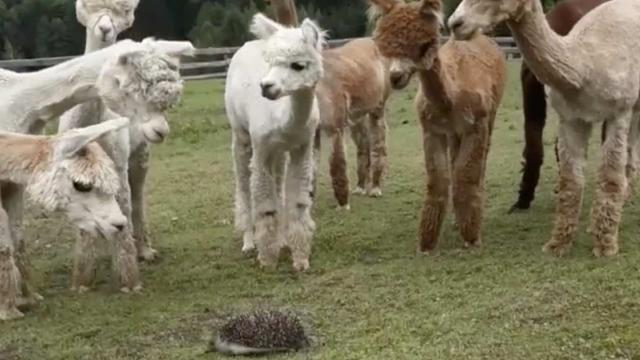 Alpacas Are Bamboozled When They Discover A Hedgehog, The Footage Will Actually Brighten Your Day