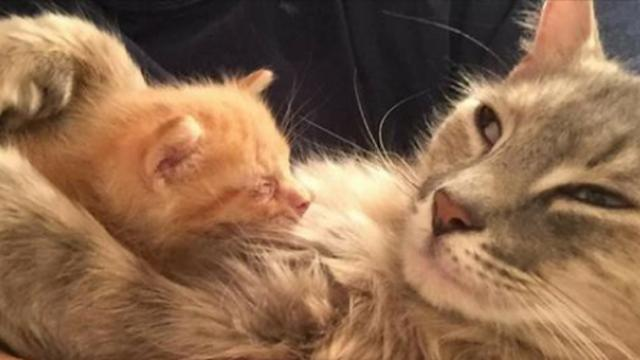Cat Who Was Depressed After Losing Her Kittens, Finds Happiness In Orphaned Kitty Who Needed A Mom