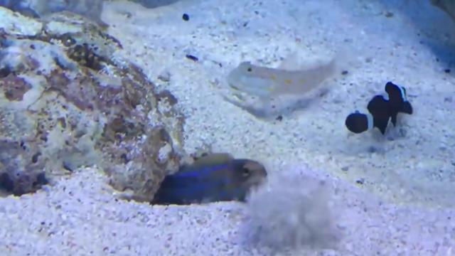 Tropical fish square off in comical dispute captured in video