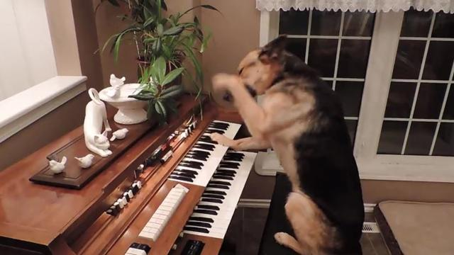 A Dog Turns On The Piano, But What She Does Next Will Shock