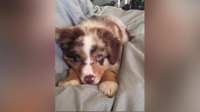 This Australian shepherd is all of us on a workday morning