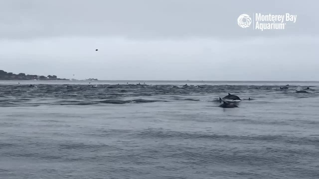 Captivating video shows a superpod of dolphins chasing prey in California