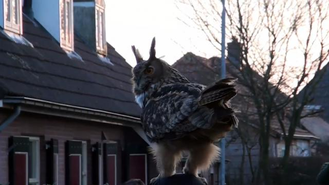 Eagle Owl Oehoe landed on head Marianne Noordeinde Funny moment