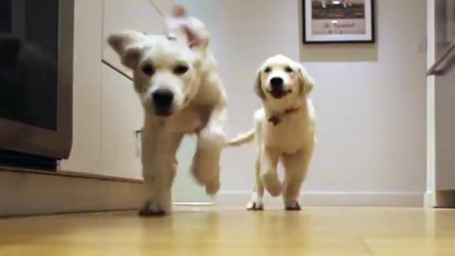 Golden Retriever Puppies Racing For Dinner In Adorable 9-Month Timelapse