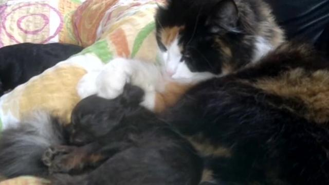 Caretaking Cat Coddles And Pets Sleeping Puppy Like Its Her Own