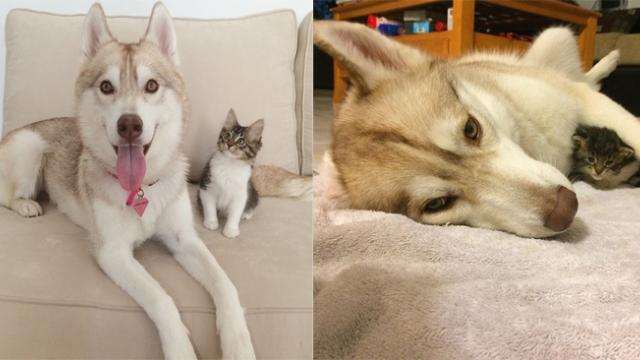 This Kitten Was Expected To Die Until She Met A Husky Named Lilo