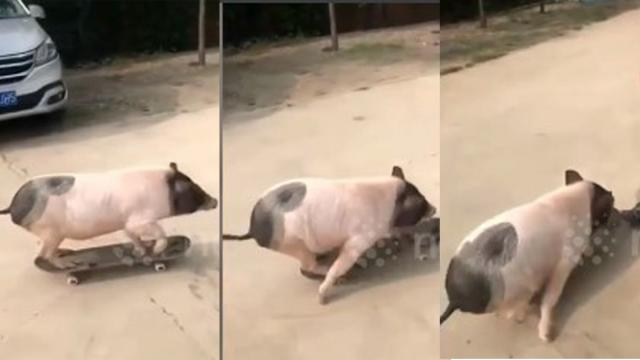 Skateboarding pig baffles people in Beijing streets  Feedy