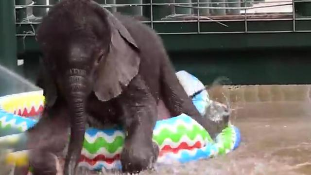 1 Minute Of Baby Elephants First Pool Time Is All You Need To