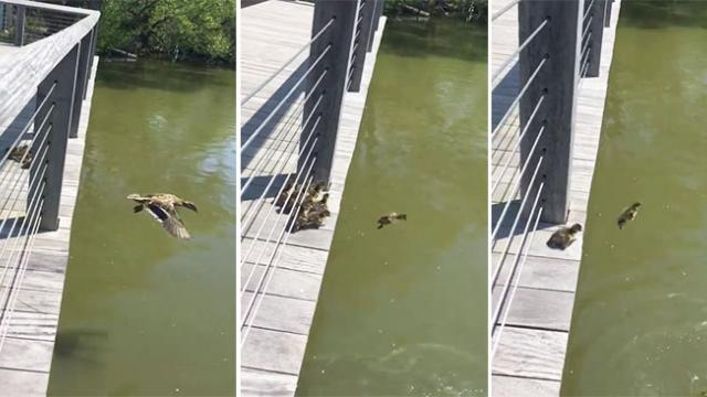 These ducklings adorably follow their mom even when jumping off a bridge