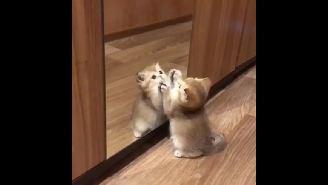 Mirror Playing small kitten