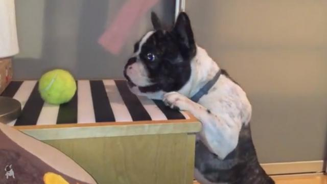 Adorable French Bulldog Just Wants His Ball And His Struggle Is The Cutest Thing You'll See Today_La