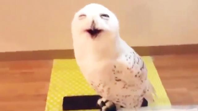 Laughing Owl (Edit)