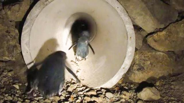 Video: New Zealand town has a tunnel for little blue penguins, ensuring them safe passage to sea