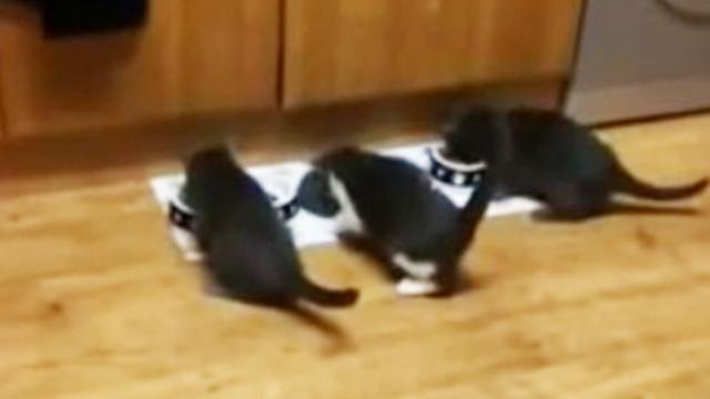 Three Tiny Kittens Slide Perfectly in Front of Their Designated Food Bowls as Soon as They Are Calle