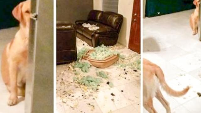 """it wasn't me"" – Guilty looking pooch hides after appearing to ransack his home_2"