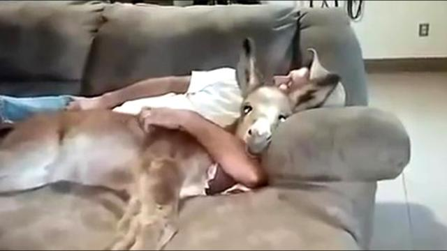 This Baby Donkey Thinks She's A Lap Dog And Loves Snuggling On