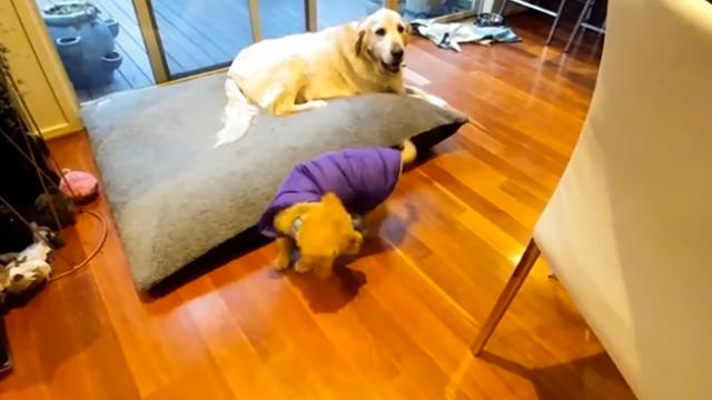 Golden Retriever Confused By Own Tail