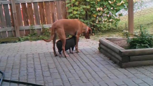 Baby Pig Loves Being Underneath the Dog _ Monday Moodboost
