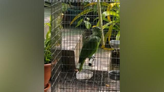 No One Believed His Parrot Sings Like A Human, So He Grabbed A Camera And Filmed It All