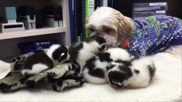 Kittens Find Foster Dad in a Nurturing Dog