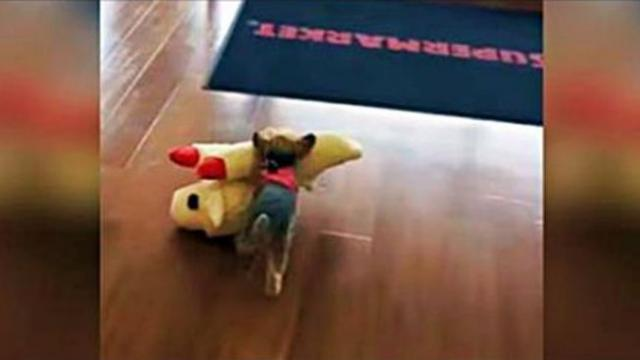 Tiny Yorkie Picks Out The Biggest Toy In The Store And Carries It To The Car All By Herself