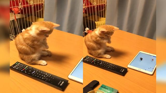KITTEN MESMERIZED BY DIGITAL FISH CAN T HOLD IN ITS EXCITEMENT IN MOST ADORABLE VIDEO EVER