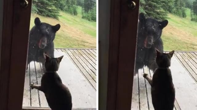 Cat vs. bear Who's the scaredy cat now_Large