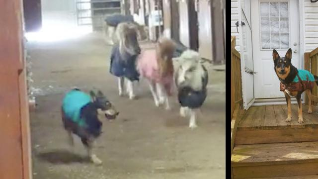 Miniature Pony Race Stampede In The Barn -InspireMorecom