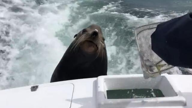 Hungry Sea Lion Hilariously Demands Fish While Hitching a Ride on the Back of a Boat
