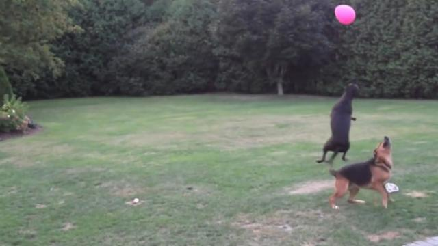 Two Dogs Go Nuts Playing With a Pink Balloon
