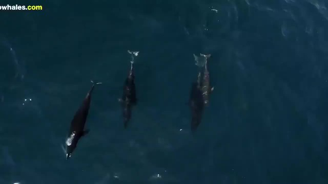 Pod Of Dolphins Protect Humpback Whale And Calf From Group Of Five Males - LADbible_2