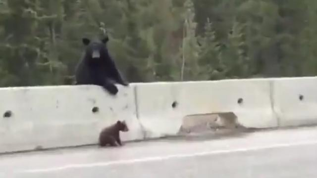 Mama Bear Plucks Baby Cub From Highway (WATCH!)