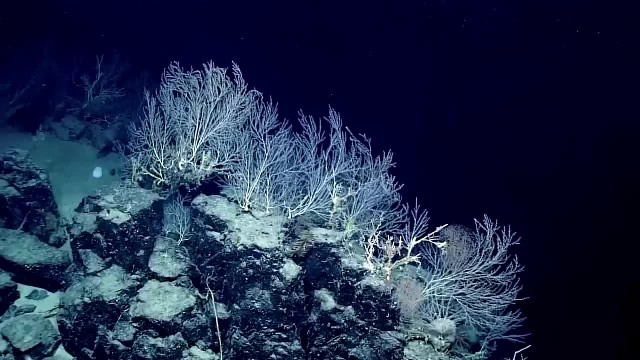 'Secret garden' of bamboo coral may be 1,000 years old