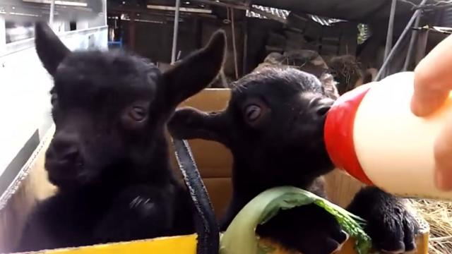 Video Of Baby Goats Is So Darn Cute Its Breaking The Internet
