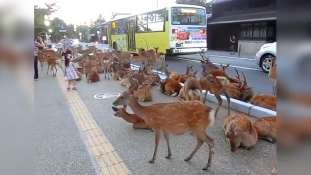 Thousands Of Deer Take Over This Road Every Day. The Reason UNBELIEVABLE